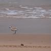 White-fronted Plover (Vaalstrandkiewiet)