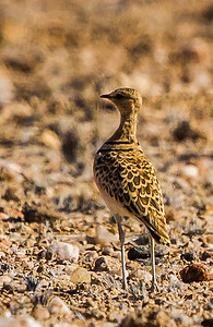 Double-banded Courser (Dubbelbanddrawwertjie)