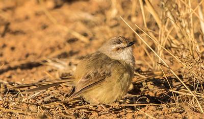Black-chested Prinia (non-br) (Swartbandlangstertjie)