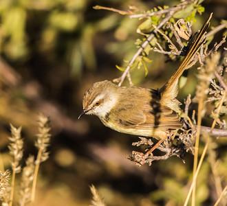 Black-chested Prinia(Swartbandlangstertjie)