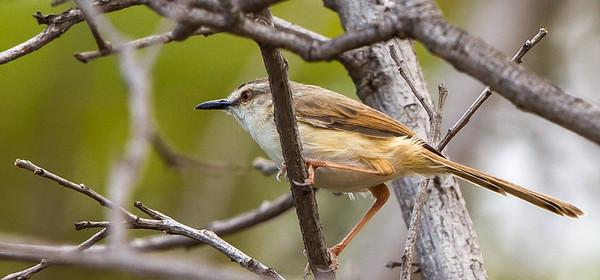 Tawny-flanked Prinia (Bruinsylangstertjie)