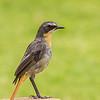 Cape Robin-Chat (Gewone janfrederik )