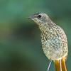 Cape Robin-Chat (Imm) (Gewone janfrederik )