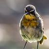 Cape Robin-Chat (Gewone janfrederik)