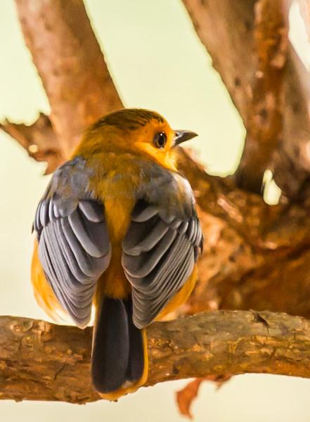 Red-capped Robin-chat (Nataljanfrederik)