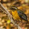 White-browed Robin-Chat (Imm) (Heuglinse janfrederik)