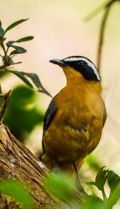 White-browed Robin-Chat (Heuglinse janfrederik)