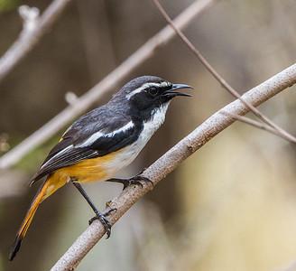 White-throated Robin-chat (Witkeeljanfrederik)