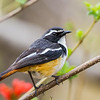 White-throated Robin-chat (Witkeeljanfrederik)