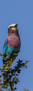 Purple Roller (Groottroupant)