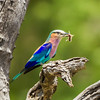 Lilac-breasted Roller (M, F) (Gewone Troupant)