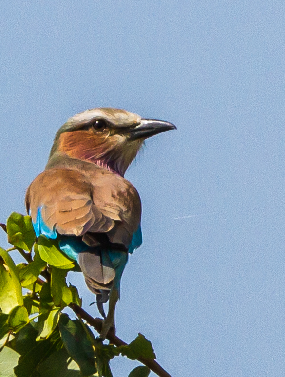 Lilac-breasted Roller (Imm) (Gewone Troupant)