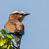 Lilac-breasted Roller (Gewone Troupant)