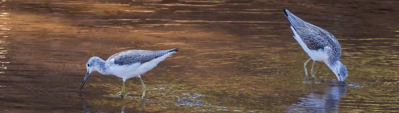 Common Greenshank (Groenpootruiter)