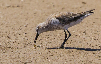 Curlew Sandpiper (Krombekstrandloper)