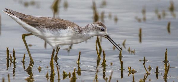 Marsh Sandpiper (Moerasruiter)