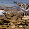 Sanderling (Drietoonstrandloper)