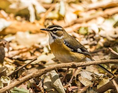 Bearded Scrub Robin (Baardwipstert)