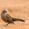 Karoo Scrub Robin (Slangverklikker)