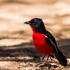 Crimson-Breasted Shrike (Rooiborslaksman)