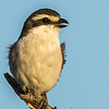 Lesser Grey Shrike (Gryslaksman)