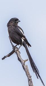 Magpie Shrike (Langstertlaksman)