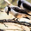 Southern White-crowned Shrike (Kremetartlaksman)