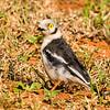 White-crested Helmet-Shrike (Withelmlaksman) Sand