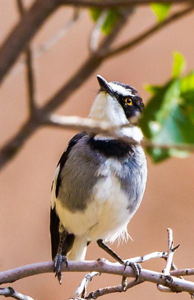 White-tailed Shrike (Kortstertlaksman)