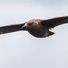 Brown (Subantarctic) Skua  (Bruinroofmeeu)