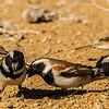 Cape Sparrow (Gewone mossie)