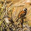 Cape Sparrow (M, F) (Gewone mossie)