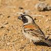 Cape Sparrow (M) (Gewone mossie}