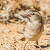 Cape Sparrow (F) (Gewone mossie)