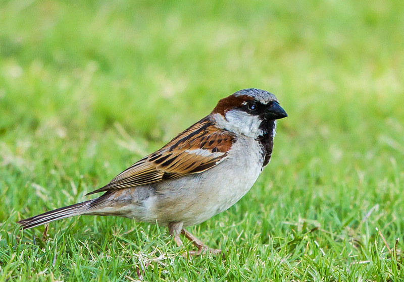 House Sparrow (M) (Huismossie)