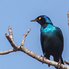 Black-bellied Starling (?) (Swartpensglansspreeu)