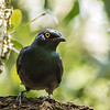 Black-bellied Starling (Swartpensglansspreeu)