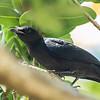Black-bellied Starling (Imm) Swartpensglansspreeu)