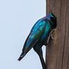Burchell's Starling (Grootglansspreeu)