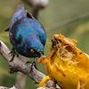 Cape Glossy Starling (Kleinglansspreeu)