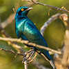 Greater Blue-eared Starling (Groot-blouoorglansspreeu)