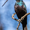 Meves's Starling (Langstertglansspreeu)