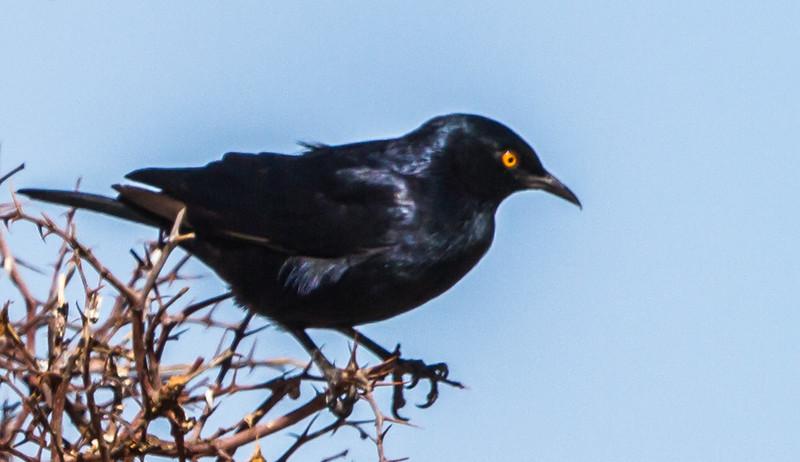 Pale-winged Starling (Bleekvlerkspreeu)