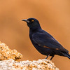 Pale-winged Starling (Bleekvlerkspreeu)