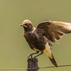 Pied Starling (Witgatspreeu)