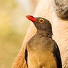Red-billed Oxpecker (Rooibekrenostervoël)