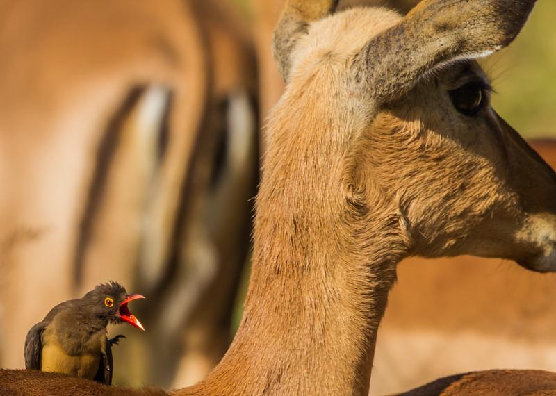 Red-billed Oxpecker (Rooibekrenostervoël)