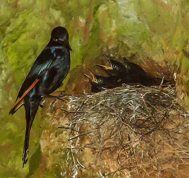 Red-winged Starling (M,Juv) (Rooivlerkspreeu)