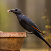 Red-winged Starling (F) (Rooivlerkspreeu)