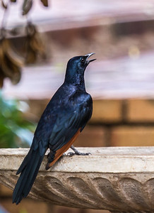 Red-winged Starling (M) (Rooivlerkspreeu)